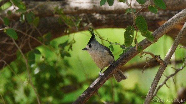 Black tufted titmouse