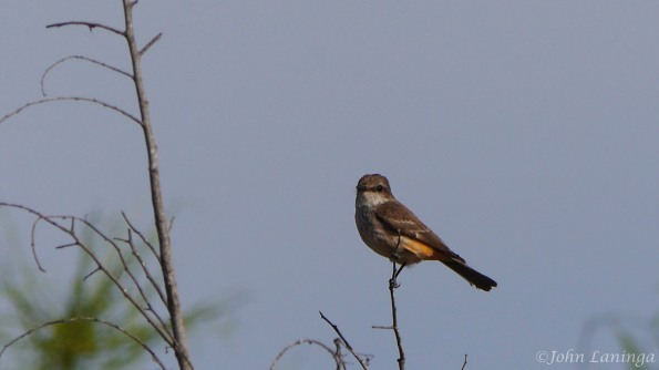Couch Kingbird