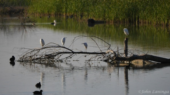 A group of Snowy Egrets