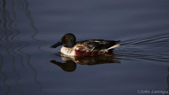 Shovelers Duck
