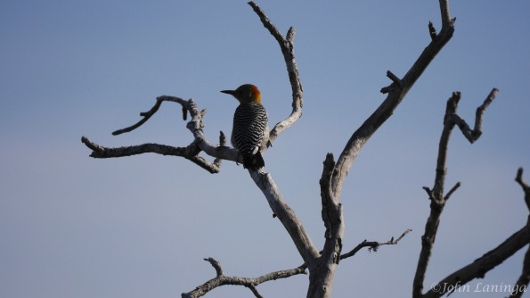 Orange fronted woodpecker