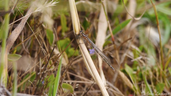 A small dragonfly blends with the environment