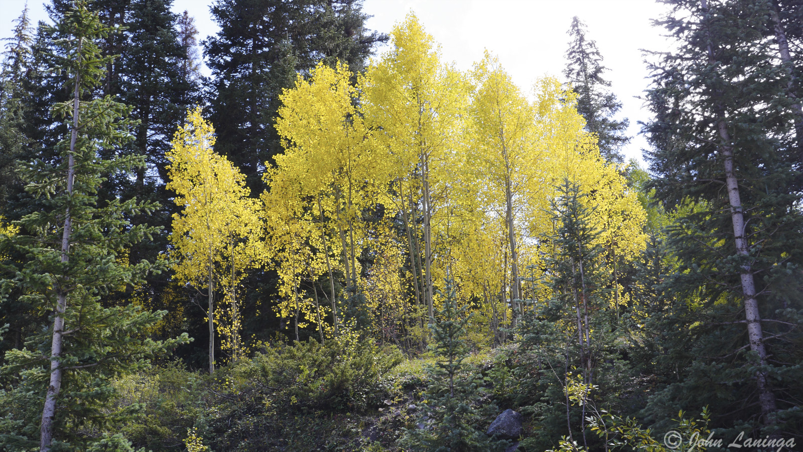 Aspen trees in all their fall glory