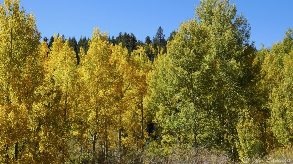Colorful quaking aspens