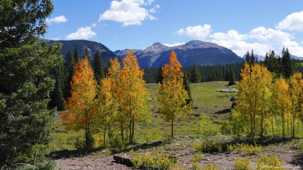 Aspen trees starting to change colors