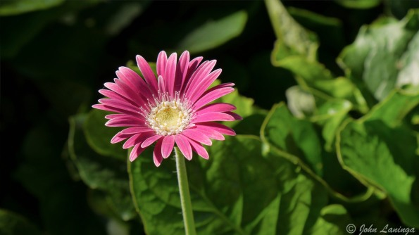 A colorful gerbera