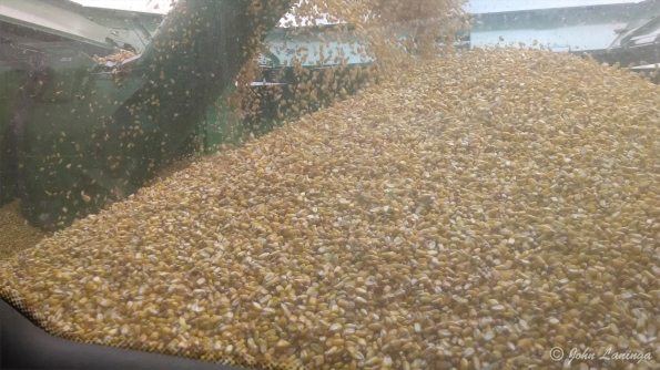 The husked corn kernels fall into the bin behind the driver.