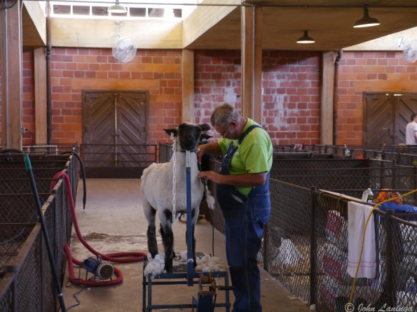 Of course, animals... here sheep being shorn