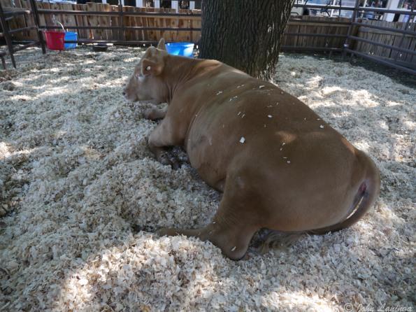 Gotta have a cow at the fair