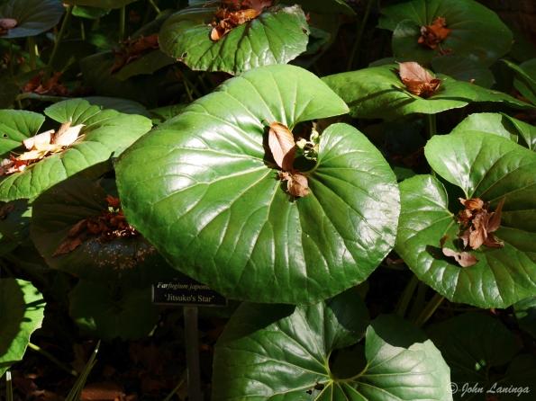Broad leaves