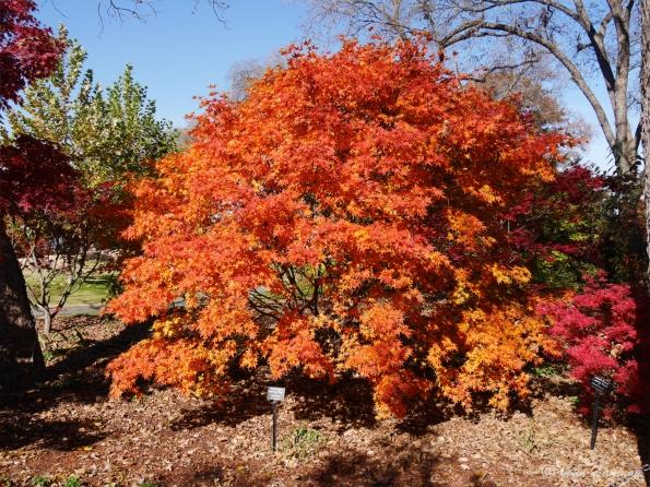 Oak tree in fall color