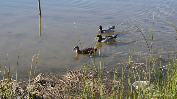 Female and two ducks