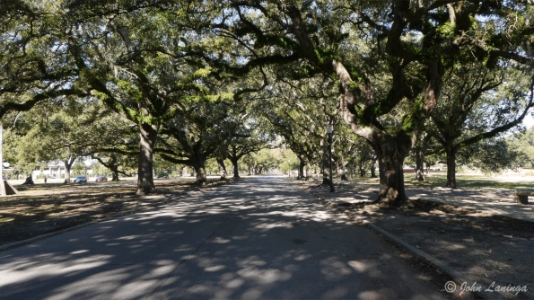 A promenade of oak trees