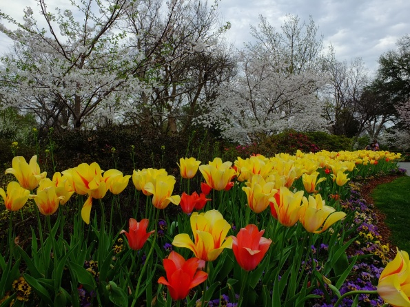 Contrast between tulips and flowering trees