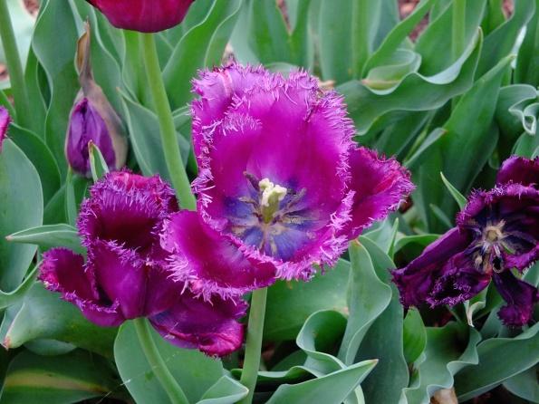 Unique purple tulip
