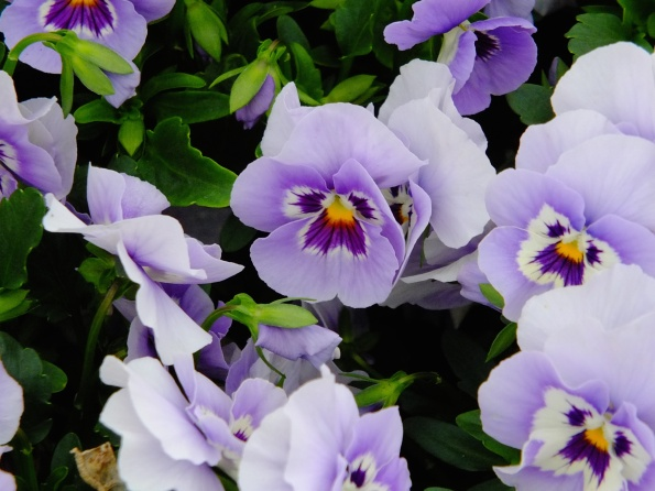 Pansies hold their own