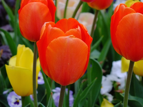 In honor of my birth country -- orange tulip