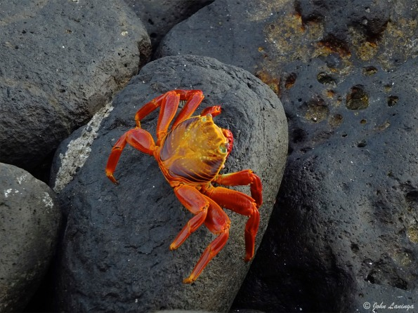 Sally crab