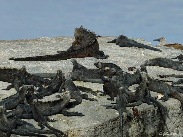 A nest of iguanas