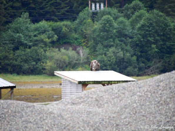There, on a shed roof, a juvenile eagle....