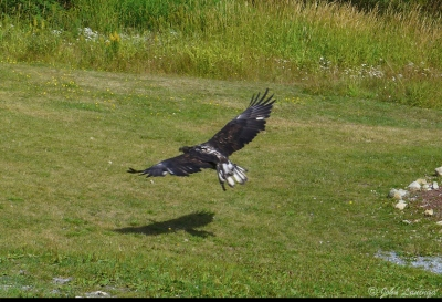 An eagle demonstration on Grouse Mountain