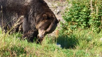 Gib brown bear
