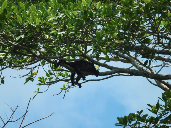 A sleeping howler monkey