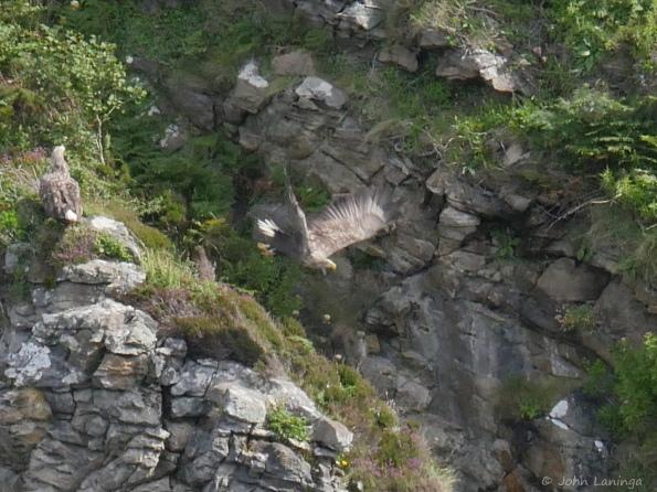 Sea eagle just taking off
