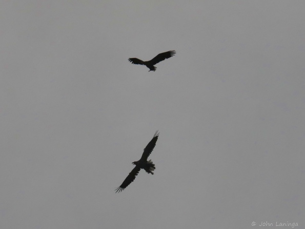 Two sea eagles