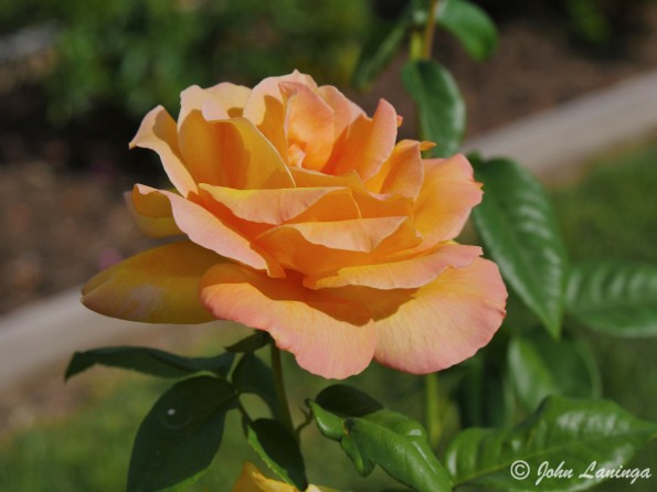 A Tyler rose