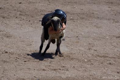 Kids sheep riding. Start 'em young!