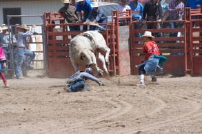 Shows how dangerous bull riding can be